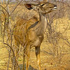 Greater Kudu (Tragelaphus strepsiceros)Chobe N.P.
