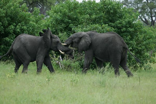 KA6P5136 Botswana, Okavanga, Game Park, Safari