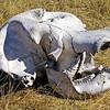Elephant skull, Okavango Delta