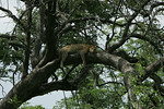 KA6P4535 Botswana, Okavanga, Game Park, Safari Leopard, Cat, Wild