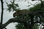 KA6P4435 Botswana, Okavanga, Game Park, Safari Leopard, Cat, Wild