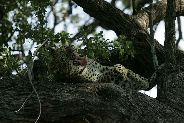 KA6P6550 Botswana, Okavanga, Game Park, Safari