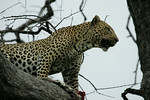 KA6P5204 Botswana, Okavanga, Game Park, Safari Leopard, Cat, Wild