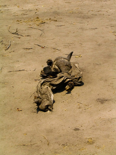 Buffalo remains, Chobe N.P.