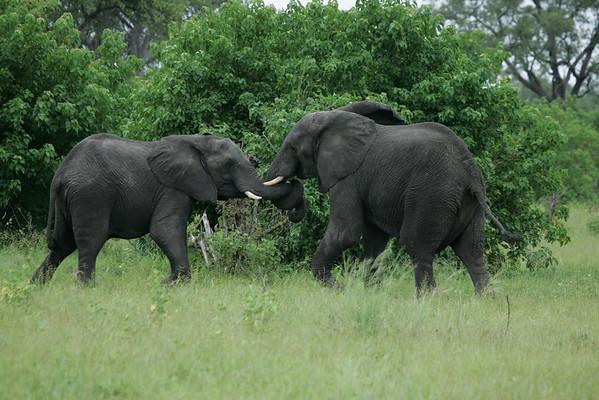KA6P5135 Botswana, Okavanga, Game Park, Safari