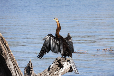 Cormorant drying off in the sun
