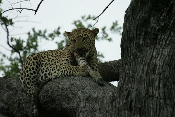 KA6P5184 Botswana, Okavanga, Game Park, Safari Leopard, Cat, Wild