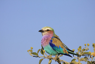 Lilac Breasted Roller - the best bird photo I've ever taken!