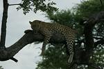 KA6P4441 Botswana, Okavanga, Game Park, Safari Leopard, Cat, Wild