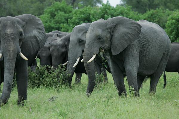 KA6P5105 Botswana, Okavanga, Game Park, Safari