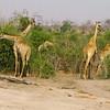 Giraffes (Giraffa camelopardalis), Chobe N.P.