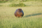 KA6P6762 Botswana, Okavanga, Game Park, Safari