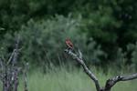 KA6P5600 Botswana, Okavanga, Game Park, Safari
