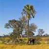 African Bush Elephant (Loxodonta africana), Okavango Delta