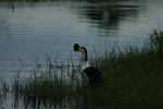 KA6P4381 Botswana, Okavanga, Game Park, Safari