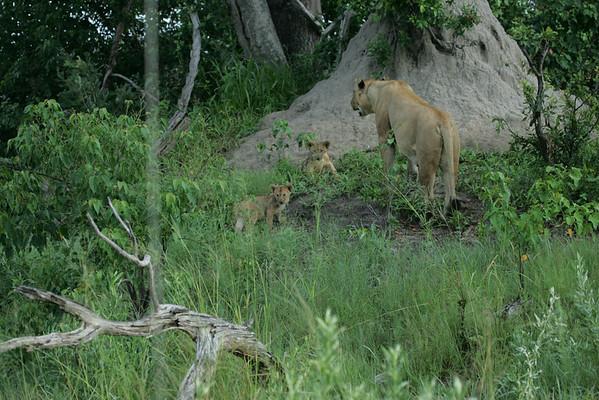 KA6P5854 Botswana, Okavanga, Game Park, Safari