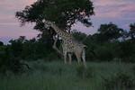 KA6P4334 Botswana, Okavanga, Game Park, Safari
