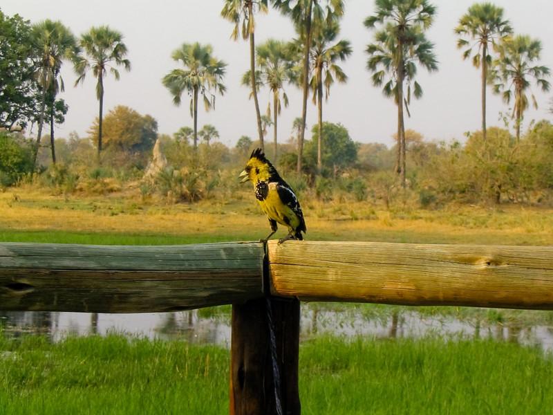 Crested Barbet (Trachyphonus vaillantii), Okavango Delta