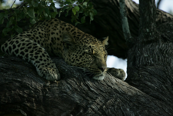 KA6P6566 Botswana, Okavanga, Game Park, Safari