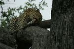 KA6P5179 Botswana, Okavanga, Game Park, Safari Leopard, Cat, Wild