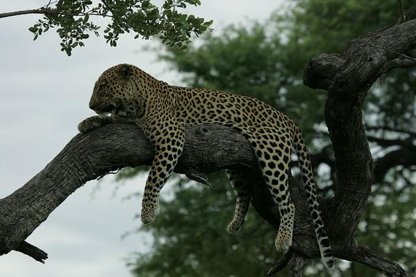KA6P4447 Botswana, Okavanga, Game Park, Safari Leopard, Cat, Wild