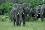 KA6P5104 Botswana, Okavanga, Game Park, Safari