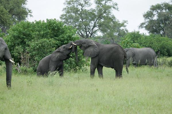 KA6P5124 Botswana, Okavanga, Game Park, Safari