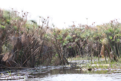 Floating papyrus beds on the Okavango Delta