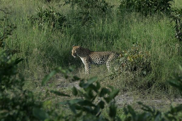 KA6P4210 Botswana, Okavanga, Game Park, Safari Leopard, Cat, Wild
