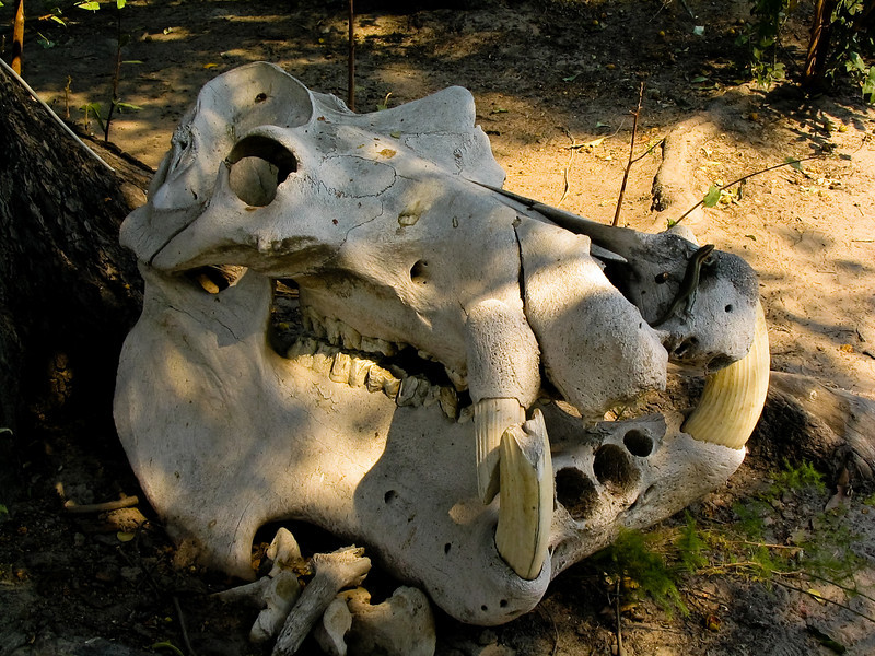 Hippo skull, Okavango Delta