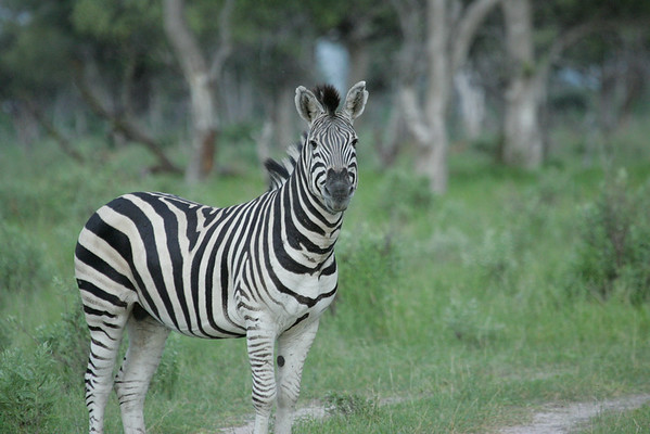 KA6P5434 Botswana, Okavanga, Game Park, Safari