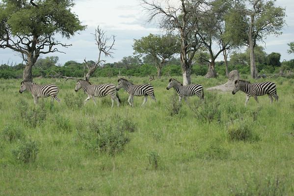 KA6P5446 Botswana, Okavanga, Game Park, Safari