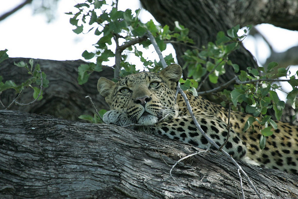 KA6P6583 Botswana, Okavanga, Game Park, Safari
