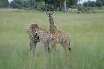 KA6P5391 Botswana, Okavanga, Game Park, Safari