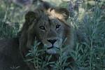 KA6P6831 Botswana, Okavanga, Game Park, Safari
