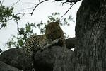 KA6P5163 Botswana, Okavanga, Game Park, Safari Leopard, Cat, Wild