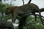 KA6P4424 Botswana, Okavanga, Game Park, Safari Leopard, Cat, Wild