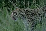 KA6P4247 Botswana, Okavanga, Game Park, Safari Leopard, Cat, Wild