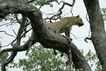 KA6P5209 Botswana, Okavanga, Game Park, Safari Leopard, Cat, Wild