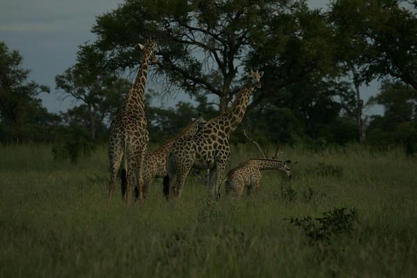 KA6P4363 Botswana, Okavanga, Game Park, Safari