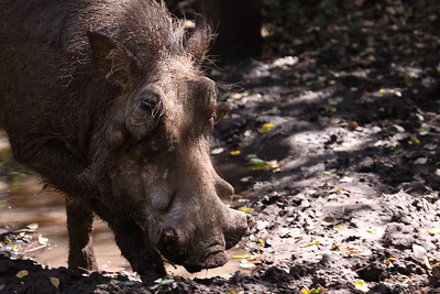 A face only a mother could love! (warthog)