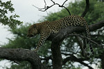 KA6P4429 Botswana, Okavanga, Game Park, Safari Leopard, Cat, Wild