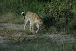 KA6P4233 Botswana, Okavanga, Game Park, Safari Leopard, Cat, Wild