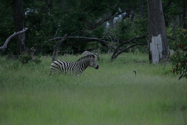 KA6P4405 Botswana, Okavanga, Game Park, Safari