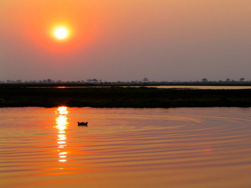 hippopotamus (Hippopotamus amphibius)  bathing in sunset, Chobe N.P.