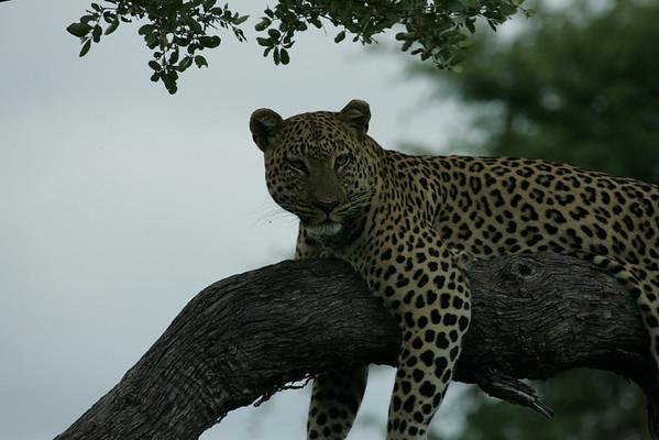 KA6P4457 Botswana, Okavanga, Game Park, Safari Leopard, Cat, Wild