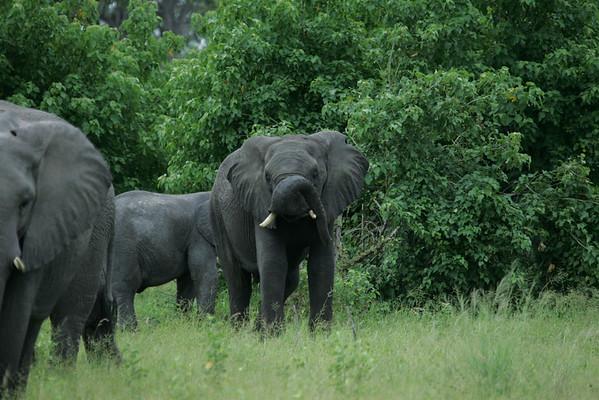 KA6P5110 Botswana, Okavanga, Game Park, Safari