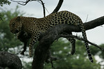 KA6P4420 Botswana, Okavanga, Game Park, Safari Leopard, Cat, Wild