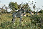 KA6P6770 Botswana, Okavanga, Game Park, Safari
