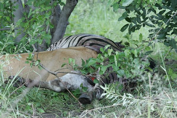 KA6P5990 Botswana, Okavanga, Game Park, Safari
